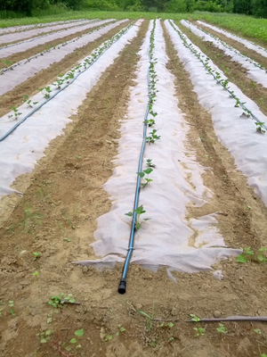 LunaFarms_Strawberries_Planted_smallerpic_