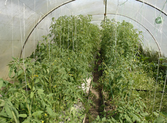 Tomatoes_In_High-Tunnel_